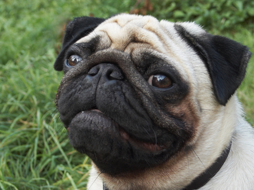 Dog Lung Cancer - Pugs