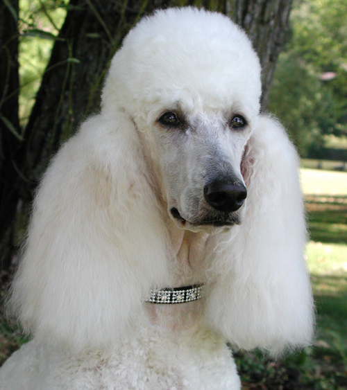 Dog Breeds and Their Health Problems - Poodles