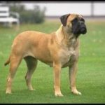 Mastiff Dog Breeds