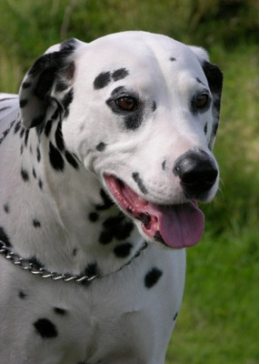 Dalmation Dog Liver Health