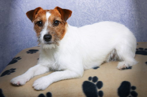 Jack Russell Terrier Dog Health
